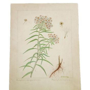 Pearly Everlasting Botanical Watercolor R.H. Greeley