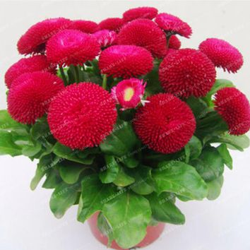 High Quality 200pcs Strawberry Ice Cream Little Daisy Seeds Bellis perennis plants  for home garden Bonsai Plant Flower Seeds