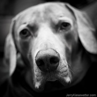 Sad Dog, Black and White Weimaraner Photo, Pets, Dogs, Animal Portrait, Gray, Grey, Puppy, Home Decor, Cute