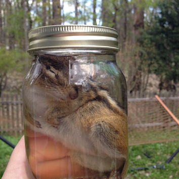 Eastern Chipmunk in a Jar - Preserved Wet Specimen Taxidermy