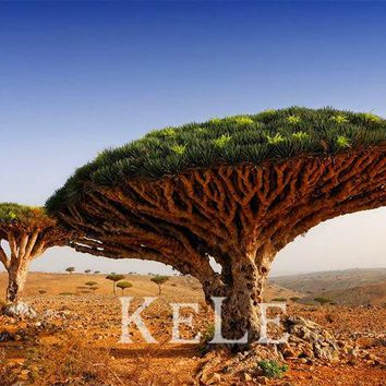 10pcs a lot the dragon blood tree seed with 30pcs japanese pine tree seed as gift,#FVLO86