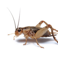 Crickets for Sale