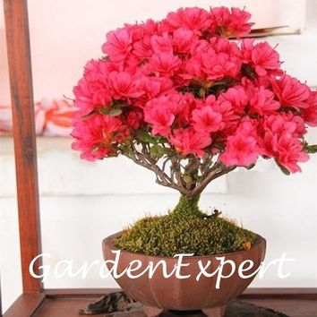100pcs Red Crape Myrtle Seeds Flower Seeds Bonsai Potted Plant Flower Seeds Blooming Flower Seeds Home Garden DIY Plant