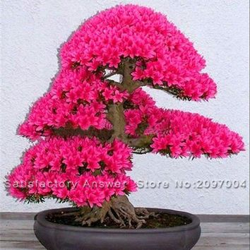 Loss Promotion! 10PCS Japanese Sakura Seeds Bonsai Tree Seed Flower Garden Seeds Cherry Blossoms