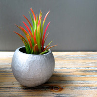 Silver Shimmer Pod with Red-Hot Blooming Tlllandsia Ionantha Fuego Air Plant / A Cute and Easy-To-Care-For Gift / Holiday Favorite