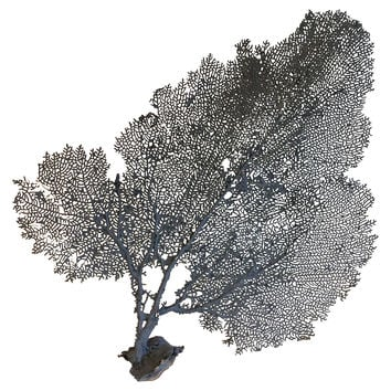 Blue Painted Sea Fan
