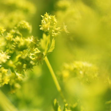 Lady's Mantle, Flower Photography, Macro Photography, Nature, Garden Photo, Printable Art, Digital Download, Green, Dreamy Photography