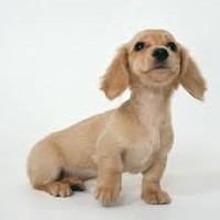 sausage dog puppy - Google Search