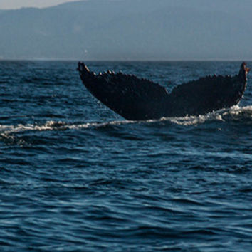 Whale Diving Down Photograph, Water Photography, Whale Photography, Humpback Whale Art, Ocean Photography, Alaska Photography. 4x6-16x24