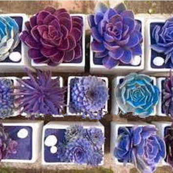 Rare Beauty Succulents Seeds Easy To Grow Potted Flower seeds 200pcs bonsai Seeds for Home & Garden mix color