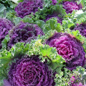 10 Purple Prince Flowering Kale, Brassica Oleracea Ornamental Wild Cabbage Kale, Annual Flower, Color Landscape, Home Garden Plant Decor