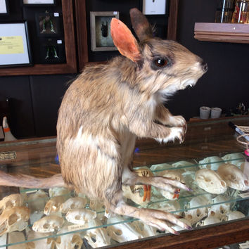 Taxidermy African Springhare