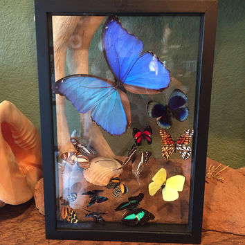 Morpho with 11 Various Butterflies Sweep