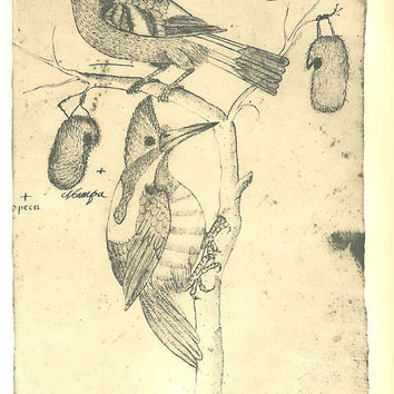 Woodpecker, Passerine, Birds Sketch Drawing,  Maranhao,  Brazil, Frei Cristovao