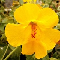 Monkey Flower Twinkle Yellow Seeds (Mimulus Hybridus F2) 100+Seeds
