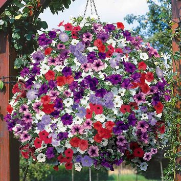 Promotion!! 300 Heirloom Hanging Petunia Mixed Seeds,rare variety, hardy ,Very Beautiful Garden Flowers Light Up Your Garden