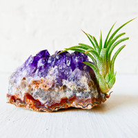 Amethyst Crystal Rock w/ BABY Air Plant PUP - Growing Garden