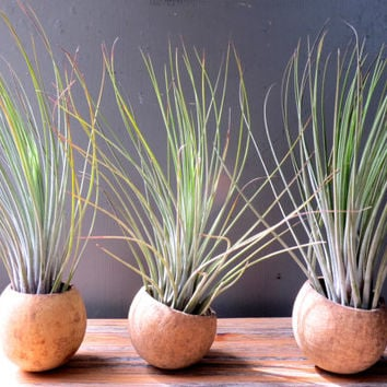 Juncea Trio: A set of three natural seed pod containers complete with Tillandsia Juncea Air Plants