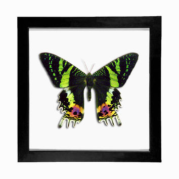 Sunset Moth Taxidermy Framed Display