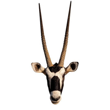 Long Horned Antelope Mount Wall Decal