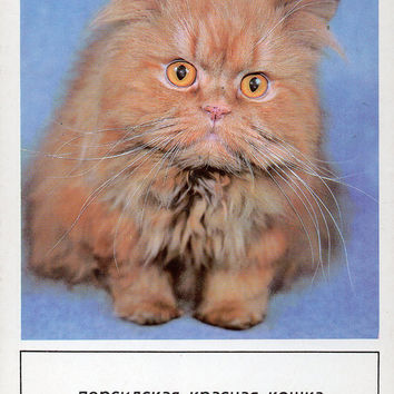 Red Persian Cat Vintage Photo Postcard (Photo A. Kalashnikov) - Printed in the USSR, «Planet», Moscow, 1989