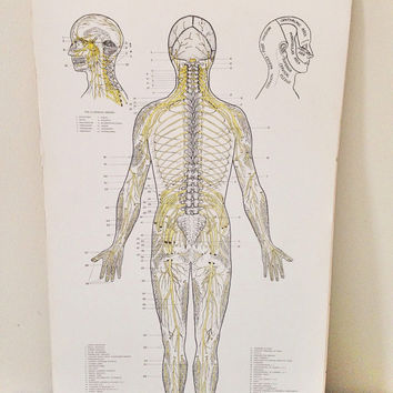 Chiropractic Spinal Nerves Poster Board / Anatomy Medical Art Poster / School Chart Pull Down Human Body Map