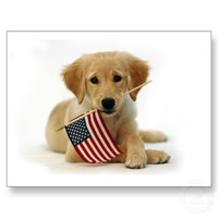 Golden Retriever Puppy and Flag Post Card from Zazzle.com