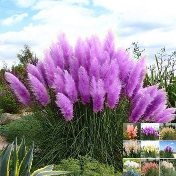500 PCS / package pampas grass bonsai seeds rare reed flower seeds for home garden planting Selloana Seeds potted decoration DIY