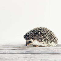 Hedgehog Study I 8x10 photographic print