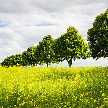 'Row of trees in spring' Photographic Print by mhfoto
