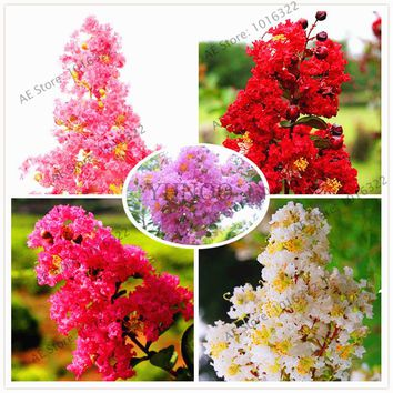 crape myrtle Tree seeds 101pcs / pack Bonsai Potted Plant Red flowers For Indorr office Easy to plant Best gift