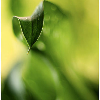 Nature photography fine art photography green cantedeskia leaf botanical wall decor, wall art, home decor, 8x12 fine art print, monochrome