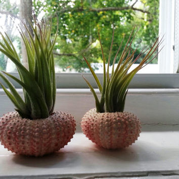Air Plants In Pink Sea Urchin