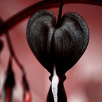 Bleedling Heart Seeds - JETTUS BLACK - Very Rare Shade Perennial - 20 Seeds