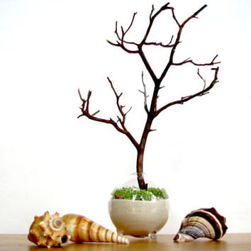Single Globe Beach Manzanita Tree Moss terrarium: white or black sand