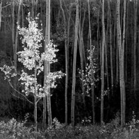 Aspens Northern New Mexico Digital Art by Ansel Adams - Aspens Northern New Mexico Fine Art Prints and Posters for Sale