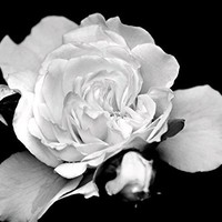 Flower Print, Black and White Prints, White Rose, Roses, Floral Art, Fine Art Photography Print, 8x10 Prints, Bedroom Wall Art, Large Wall Decor