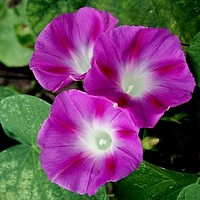 Morning Glory Crimson Rambler Flower Seeds (Ipomoea Purpurea) 20+Seeds