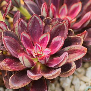 Painted Echeveria Nodulosa Cotyledon Nodulosa Basionym Echeveria Discolor Echeveria Misteca Purple Line Red Birthday gifts