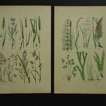 GRASSES old prints Botanical print set of GRASS pictures Two 2 original 1884 antique plates about grass species poster illustration 8x11""