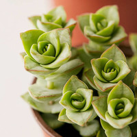 "4"" Live Assorted Succulents - Set of 4 