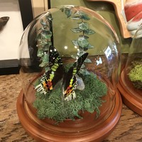 Sunset Moth Dome Display