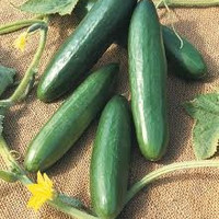 5# Pounds of Heirloom Cucumber Seeds- Straight Eight From The Dirty Gardener