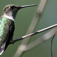 Hummingbird Photo Nature and Wildlife Photo Print Matted 8x10 Free Shipping 11x14 5x7