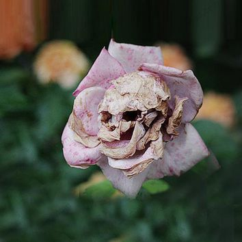Death seeds mysterious plant species snapdragon flower skull 100PCS