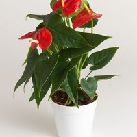"""LIVE 4"""" Anthurium Indoor House Plant - Ships Alone"""