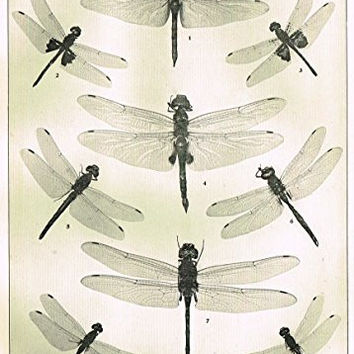 "Howard's The Insect Book - ""DRAGON FLIES- PLATE XLII"" - Lithograph - 1902"