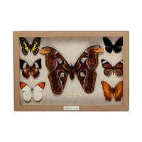 Butterfly Party Collection Box - Wild Silk Moth