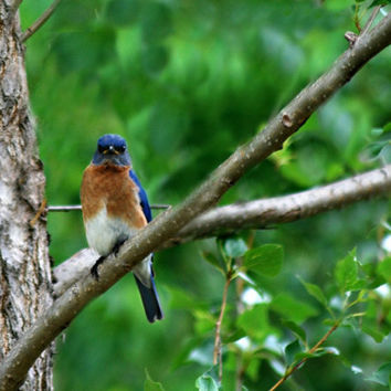 Blue Bird Photography  Orange,bluebird,nature,Gifts under 25, adorable,turquoise,peach,home decor,sky blue