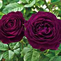 20 Deep Purple Rare Rose Flower Seeds Heirloom Perennials